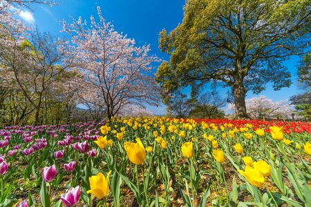 Cherry blossoms and tulips Stok Fotoğraf