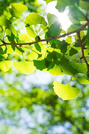 Fresh green. ginkgo leaves. solar