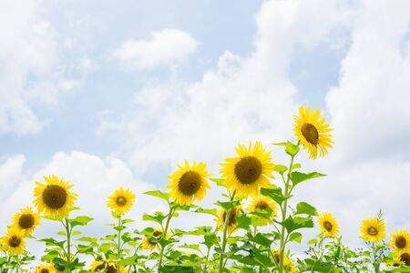 Sunflower. Sky background