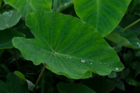 Taro leaves. Water drop