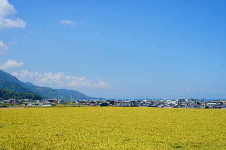 Inada at harvest time. Seto Inland Sea in the distance(Kanonji City, Kagawa Prefecture)