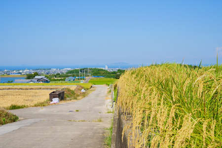 Rice at harvest time. Seto Inland Sea in the distance(Kanonji City, Kagawa Prefecture)