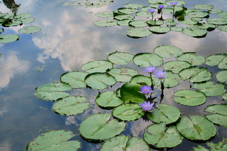 Water lily and sky reflection Stock Photo