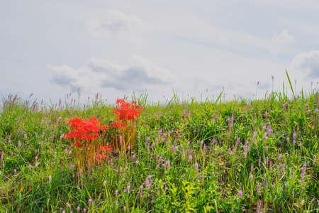 Higan Hana(Kagawa Prefecture)