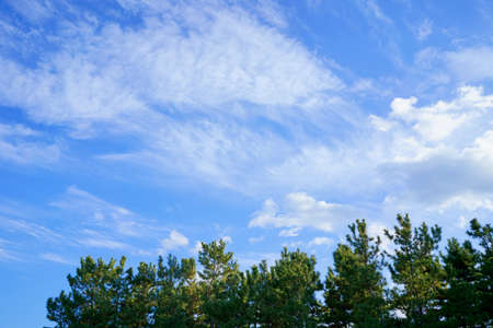 blue sky. cloud. Pine