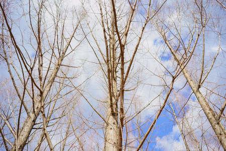 winter metasequoia Stock Photo