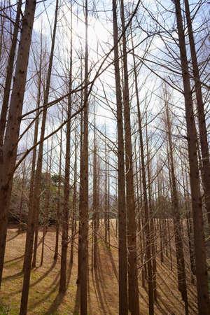 winter metasequoia forest