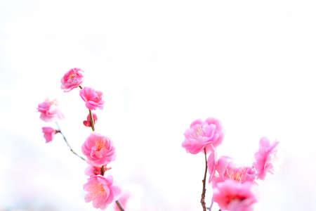 ume blossom(Sky background) Stock Photo