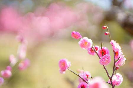 ume blossom Stock Photo