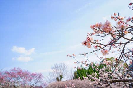 ume blossom. Early spring sky