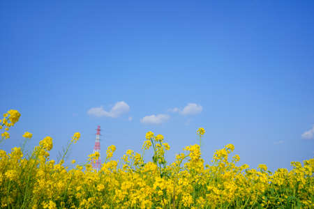 Rape blossoms, sky and steel tower Stock Photo