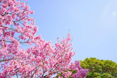 Sunshine cherry blossoms.  blue sky background