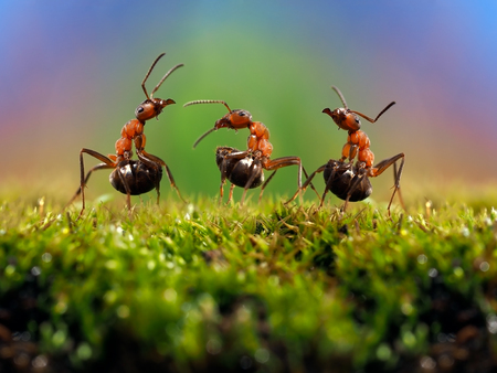 forest management: Three ant. Conflict, ants fight. Conceptually - dialogue, conversation, meeting, showdown, difficult negotiations. Beautiful rainbow background. Ants large, raised abdomens