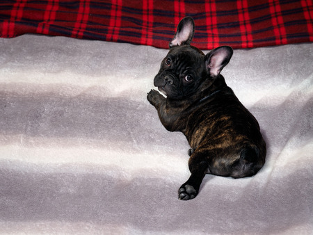brindle: Dog lying on the bed. On plaid bed. The dog is black, thoroughbred - French bulldog. Dog puppy, brindle