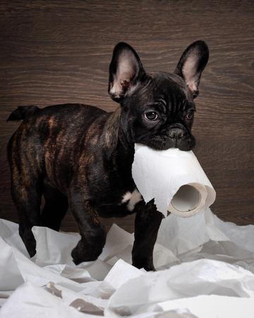 재미 있은 개. 화장지로 노는. 강아지 프랑스 불독 강아지, 블랙 컬러입니다. 배경 나무 스톡 콘텐츠