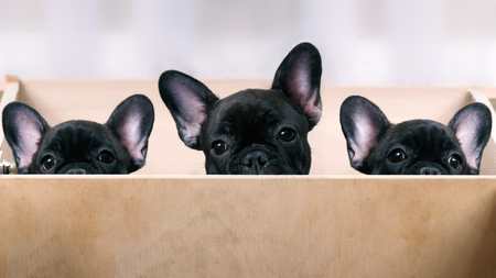brindle: Three puppies look out from the enclosure. French Bulldog Puppies. Black, brindle color. Elite, pedigree dogs. Big ears