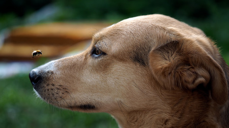 Le museau de chien et le grand bourdon volant. L'insecte s'approcha du museau du chien. Le chien surveille le vol du bourdonné. Danger de morsure de chien Banque d'images - 57819252
