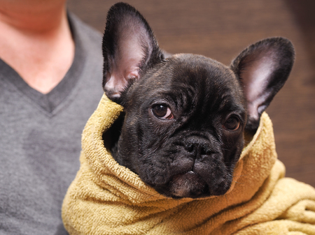rock wool: Wet, sad dog after washing with a towel. Pedigreed Dog, French Bulldog. Young pup