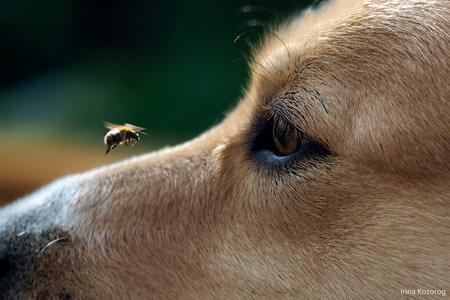 dog's muzzle and big bumblebee flying. The insect flew up to the dog's muzzle. The dog watches the flight of the bumblebee. dog bite danger