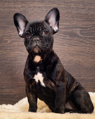 brindle: The dog sits at the wooden wall. French bulldog puppy. Color black, brindle Stock Photo