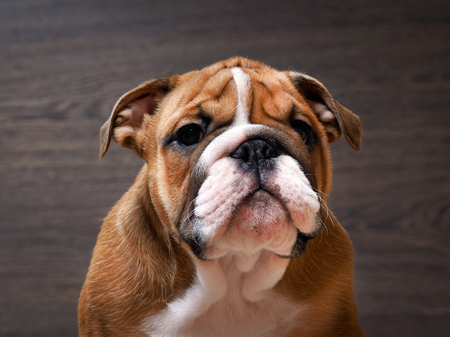 English bulldog puppy. Portrait. Muzzle close. Puppy 3 months. Background wood