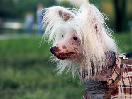 elites: Portrait of a funny dog. The dog luxury hair. Breed Chinese Crested dogs. Park, summer. The dog checkered suit. White, beautiful hair Stock Photo