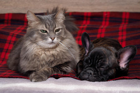 pedigreed: Dog and cat together lying on the bed. Checkered red plaid. Pedigreed Dog, French Bulldog. Purebred cat, fluffy, large and gray. Friendship of cat and dog. The contents of the house animals