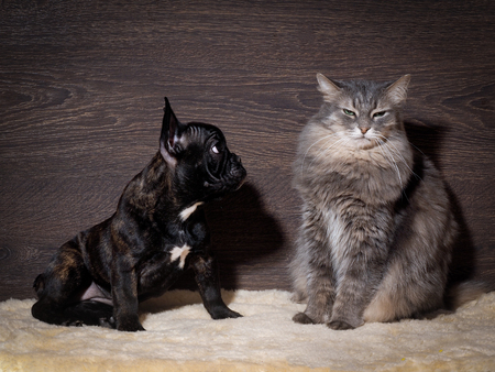 Little scared french bulldog puppy and a large, angry gray cat. Background wooden board. Dog and Cat Relationship Stok Fotoğraf