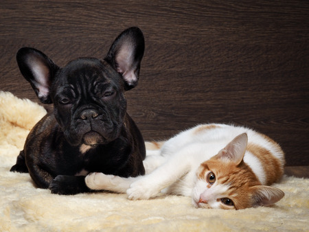 Friendship of cat and dog. Kitten white with red. Dog French Bulldog puppy. The dog is black. Relationship dog and cat. 스톡 콘텐츠