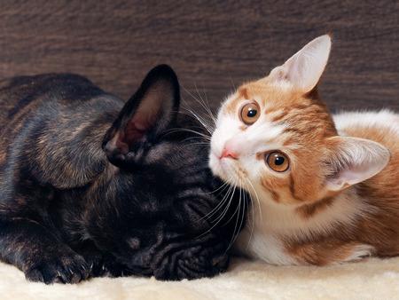 El gato y el perro dormido juntos. Gatito blanco con rojo. El perro bulldog francés cachorro. Perro negro. perro y el gato relación. Foto de archivo