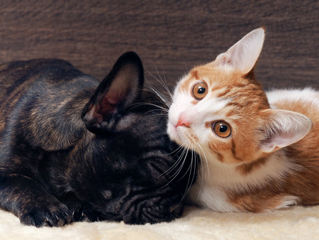 Cat and dog sleeping together. Kitten white with red. The dog french bulldog puppy. Black Dog. Relationship dog and cat. Archivio Fotografico