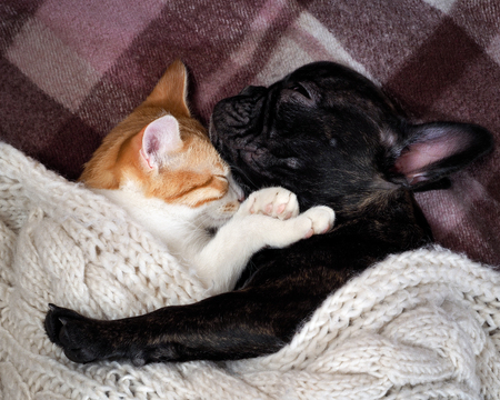 White cat and black dog sleeping together under a knitted blanket. Friendship cats and dogs, animals in the apartment house. Cute pets. Love the different species of animals 写真素材