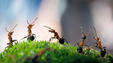 아주 숲에 이끼에 많은 개미. 개미 빨간색, 숲, 다른 포즈. 매크로