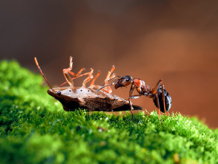 Ant and mining - bug. Glade green moss, bright brown background Stock Photo