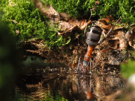 forest stream: Ant drinking water from the forest stream