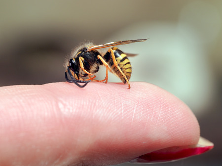 Insect wasp on a female finger. macro 스톡 콘텐츠