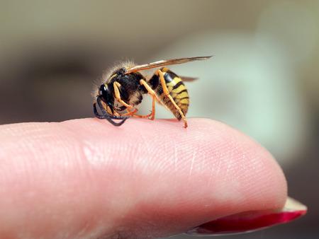 Insecte guêpe sur un doigt féminin. macro Banque d'images - 60512544