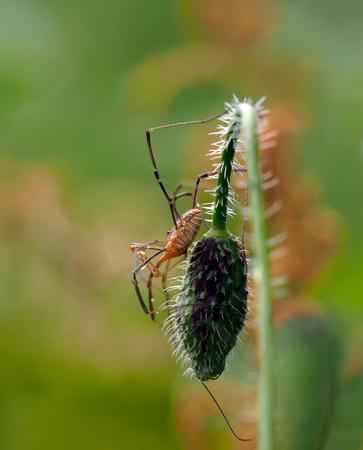 harvestmen: Daddy Long-legs Spider - Side view of a daddy long-legs spider (also called Harvestmen, Granddaddy long-legs, Opilione, Phalangida)