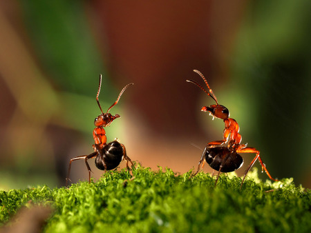 formic: Battle of two ants. Beautiful ants are on the moss lifting abdomen and sprinkle each other with formic acid
