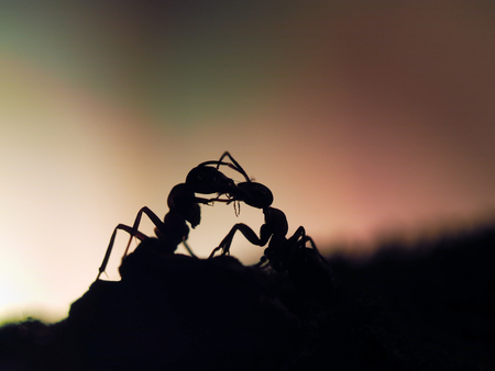ants silhouettes at sunset. Kiss insects. Orange and black. Macro. Stock fotó - 60512617