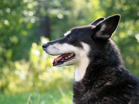 palate: Dog portrait. Natural beautiful backdrop. The muzzle, teeth, tongue, mouth. Dog street, homeless
