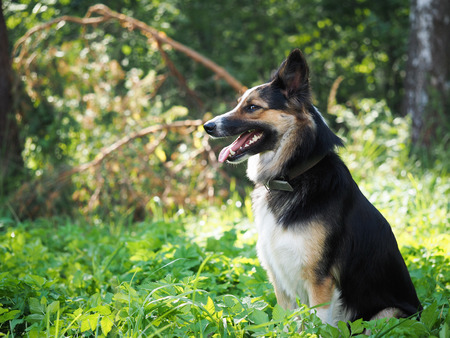 Portrait of a big dog in a collar. Green grass, forest. Funny expression of a muzzle. Profile