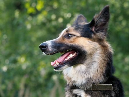 palate: Portrait of a big dog in a collar. Natural beautiful backdrop. Profile of the muzzle, teeth, tongue, jaws Stock Photo