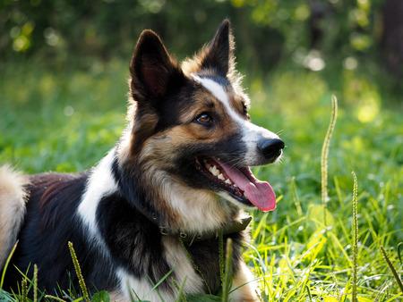 palate: Beautiful dog lying on green grass. Its hot, fall seen, tongue, teeth
