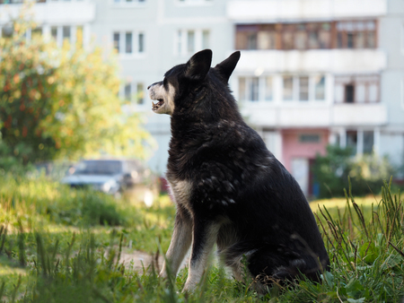 dientes sucios: Outdoor dog sitting in the courtyard of a multistory building. The problem of stray animals, rabies