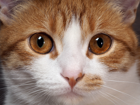 dilated pupils: Stunning yellow eyes red cat. Portrait of a cats muzzle close Stock Photo