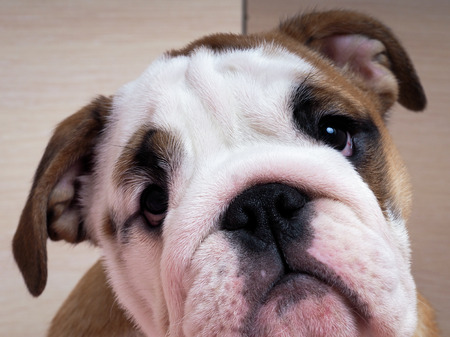 english bulldog puppy: Sad English bulldog puppy. Muzzle dog close. Puppy looks with hope and expectation