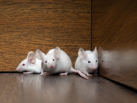 Nest of white mice in the old cabinet. Three mouse - white hair, red eyes, pink paws and tails