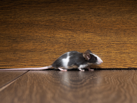 furry: Gray-white furry mouse on the floor in the room. The long pink tail Stock Photo