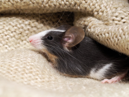 The mouse sits in the closet on things. Rodent lived in the house Stock Photo